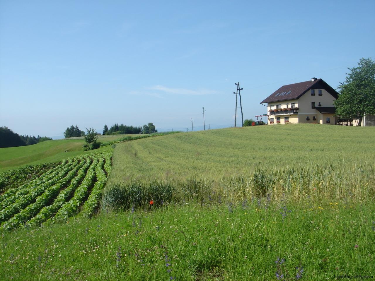 Žitno in fižolovo polje, v ozadju kmetija Pr Okornu