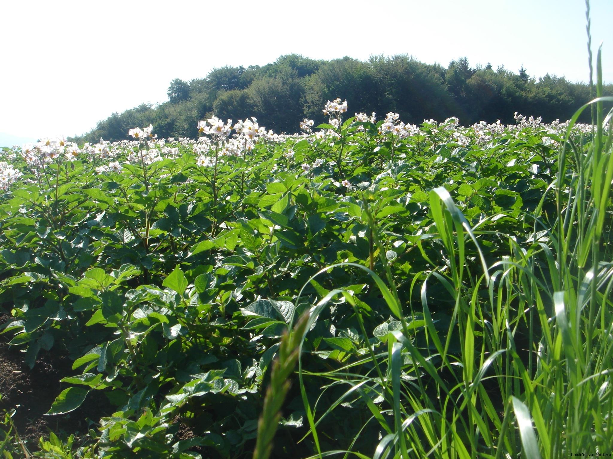Krompirjevo polje