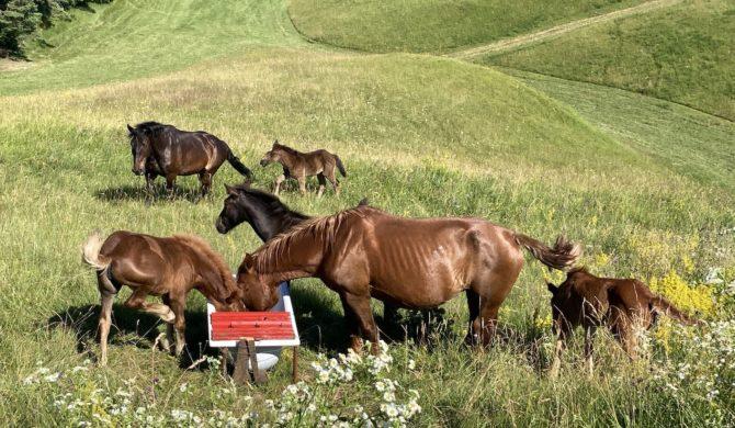 Konji na Pristavi